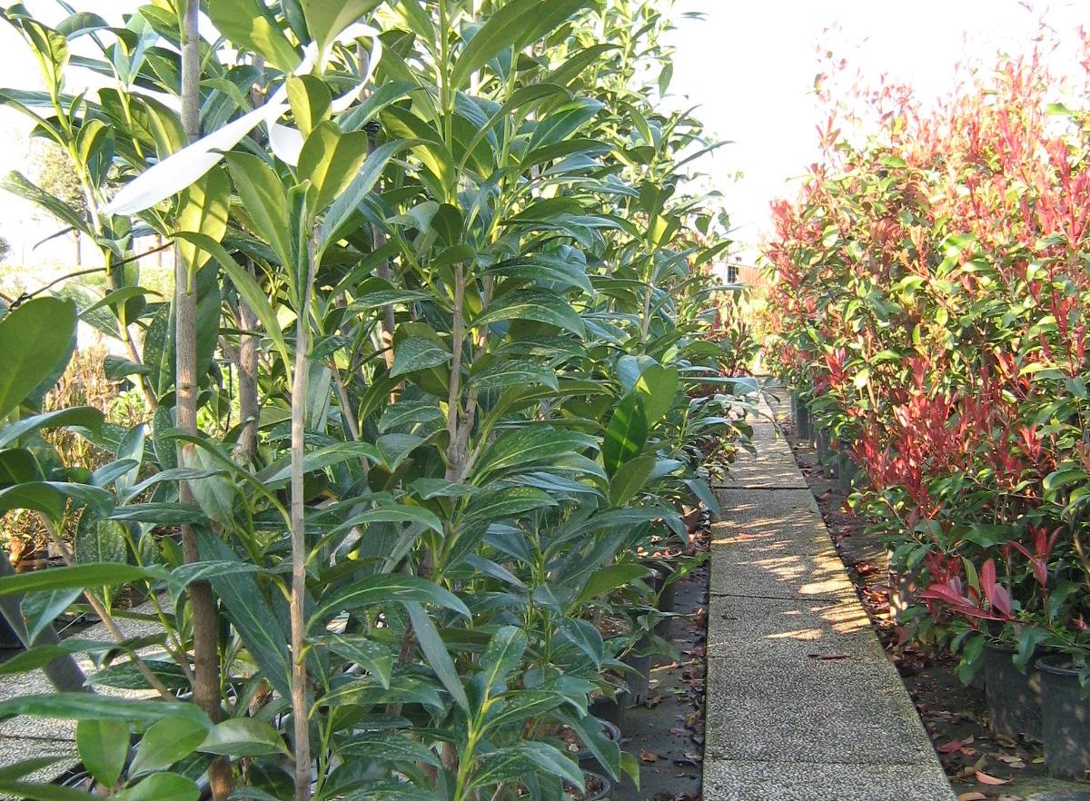 Piante Da Siepi Immagini piante da siepe - ever garden - ceggia(ve)